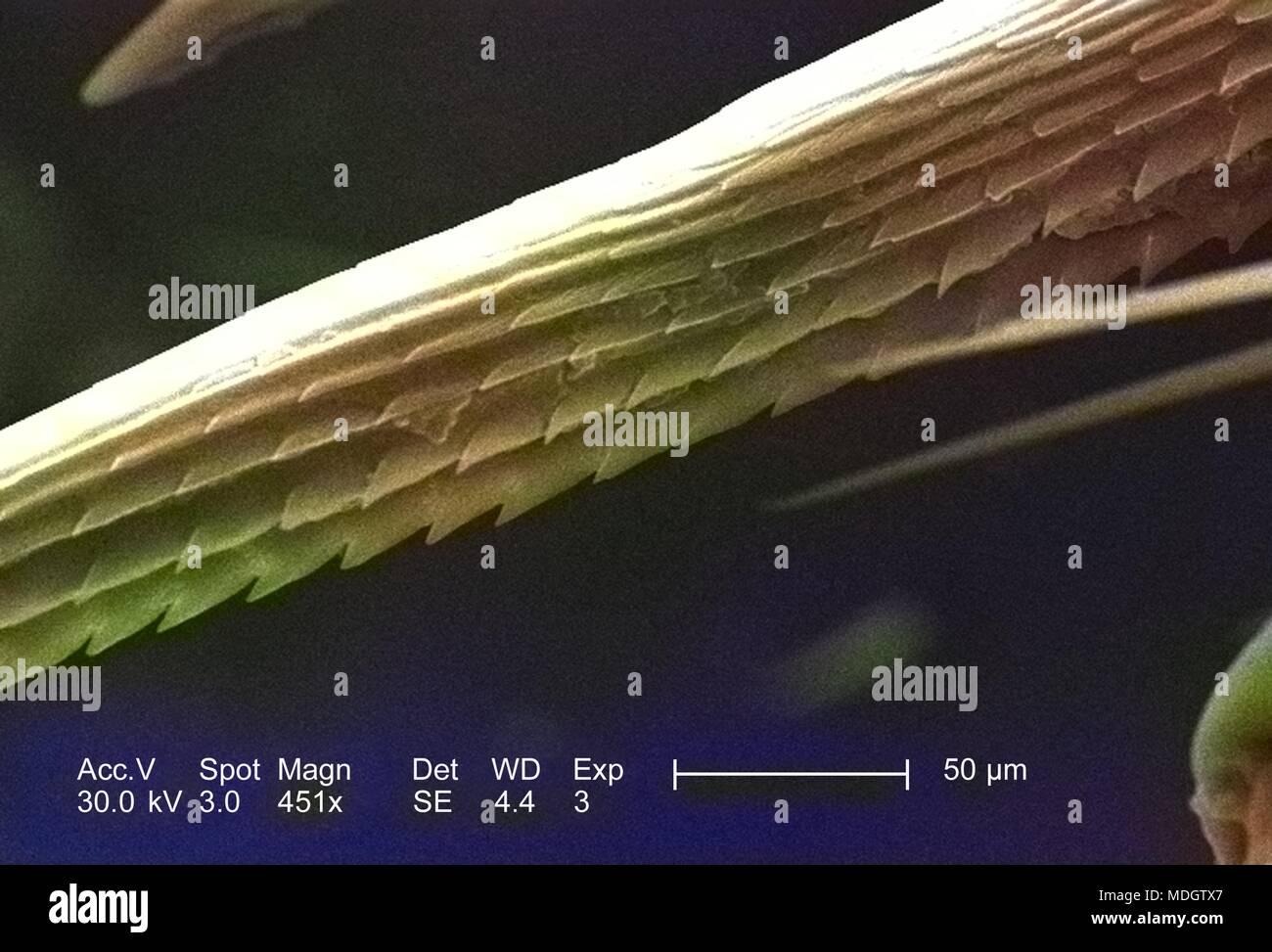 Anatomische Morphologie in der exoskeletal adnexale Widerhaken eines nicht identifizierten Roach, in der 451 x vergrößert dargestellt Rasterelektronenmikroskopische (SEM) Bild, 2005. Mit freundlicher Seuchenkontrollzentren (CDC)/Janice Haney Carr, Connie Blumen. Hinweis: Das Bild hat digital über ein modernes Prozess eingefärbt worden. Farben können nicht wissenschaftlich korrekt sein. () Stockbild