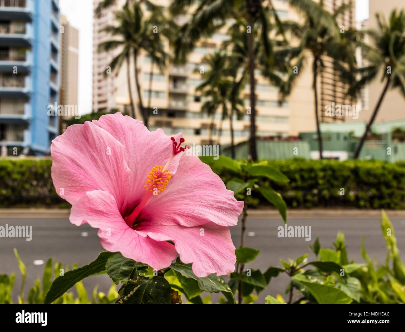 Hibiskus Die Blume Von Hawaii Bluhende Neben Ala Mona Boulevard