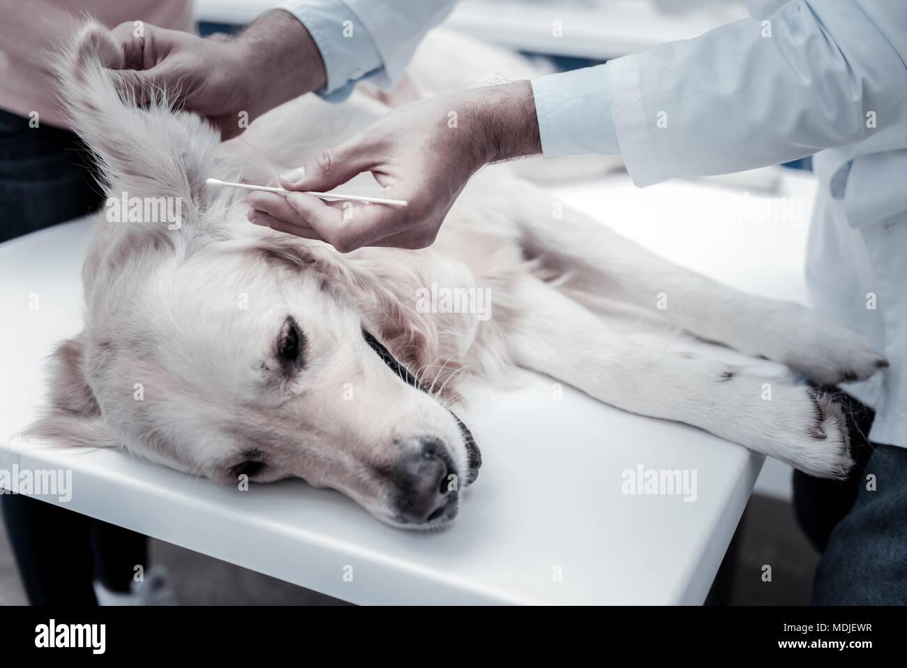 Schöne schöne Labrador in seinen Augen gereinigt Stockbild