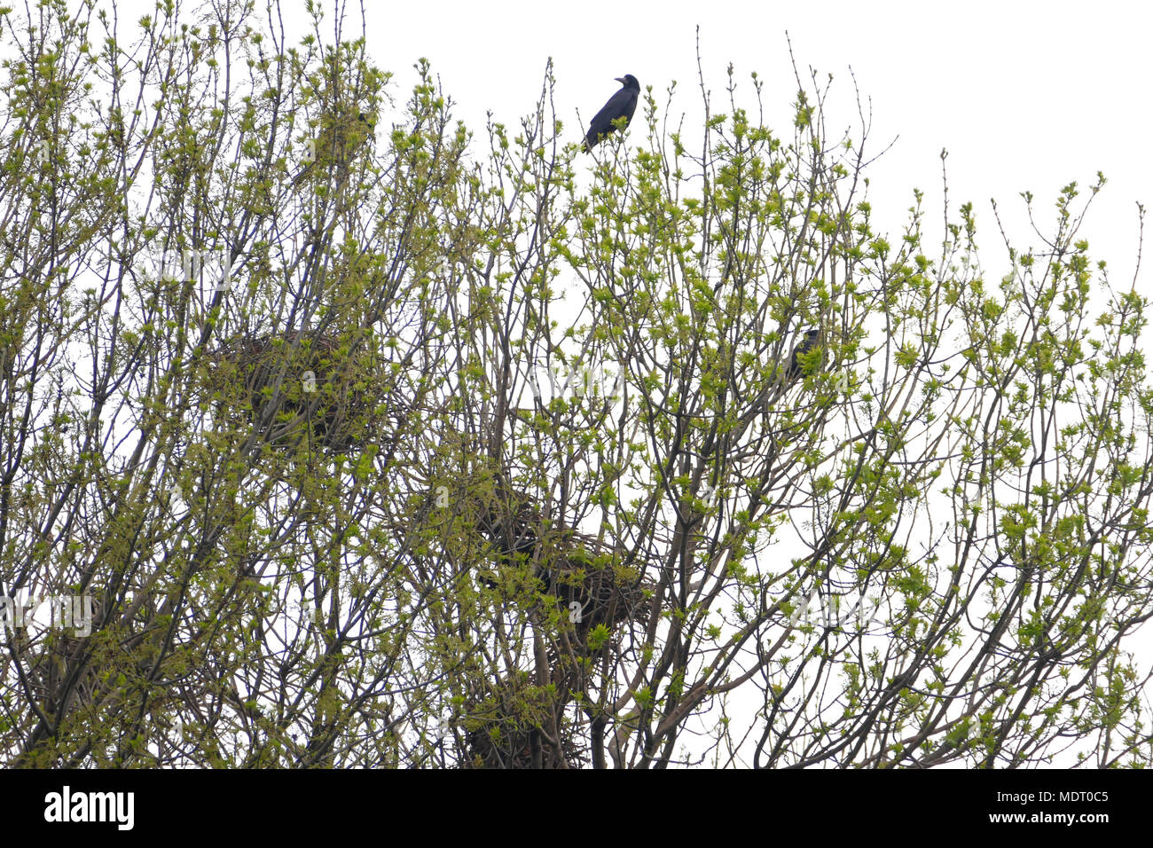 Raven Nester im Baum häkeln mit Raben fliegen Stockfoto, Bild ...