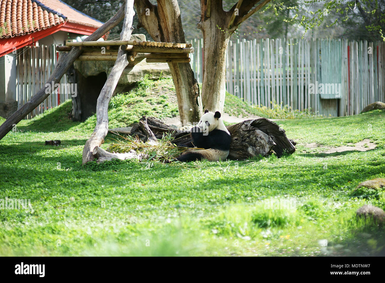 Panda Ailuropoda Lalage Bambus Essen Im Zoo Madrid Spanien