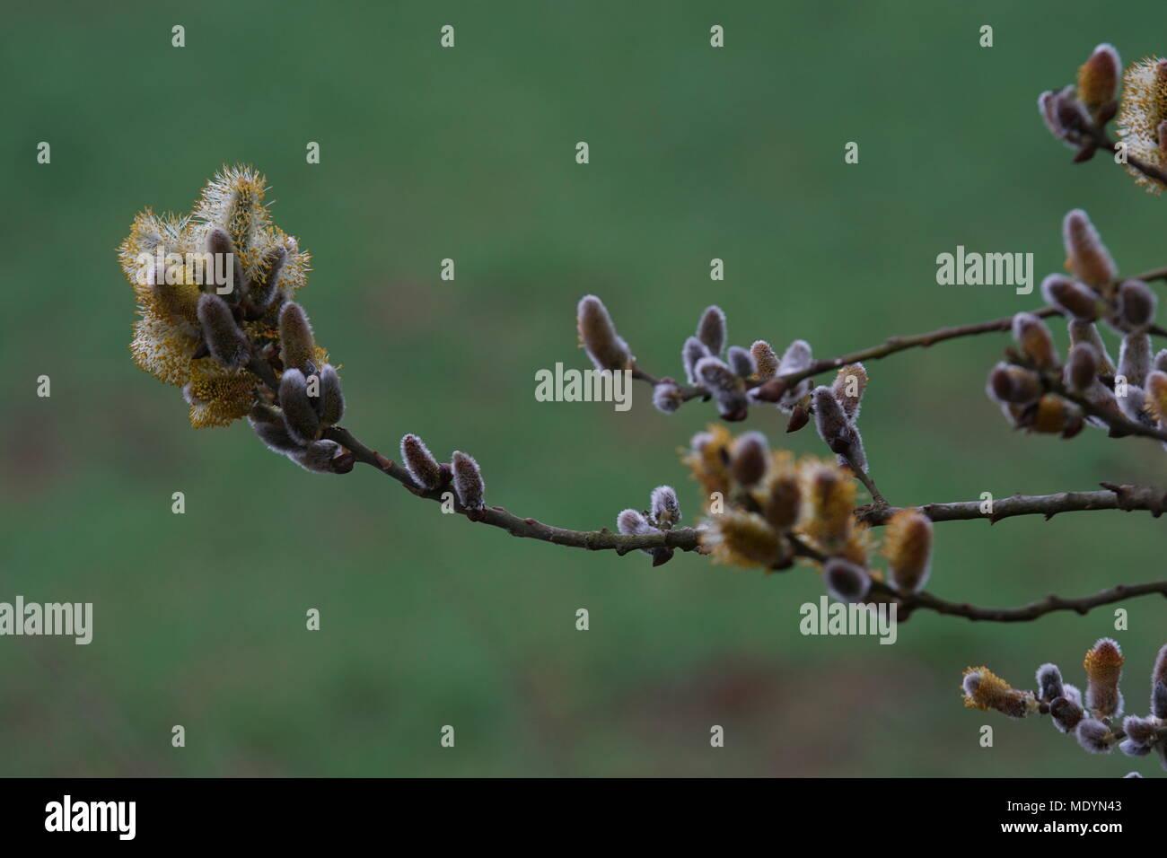Palmkätzchenzweige Stockbild