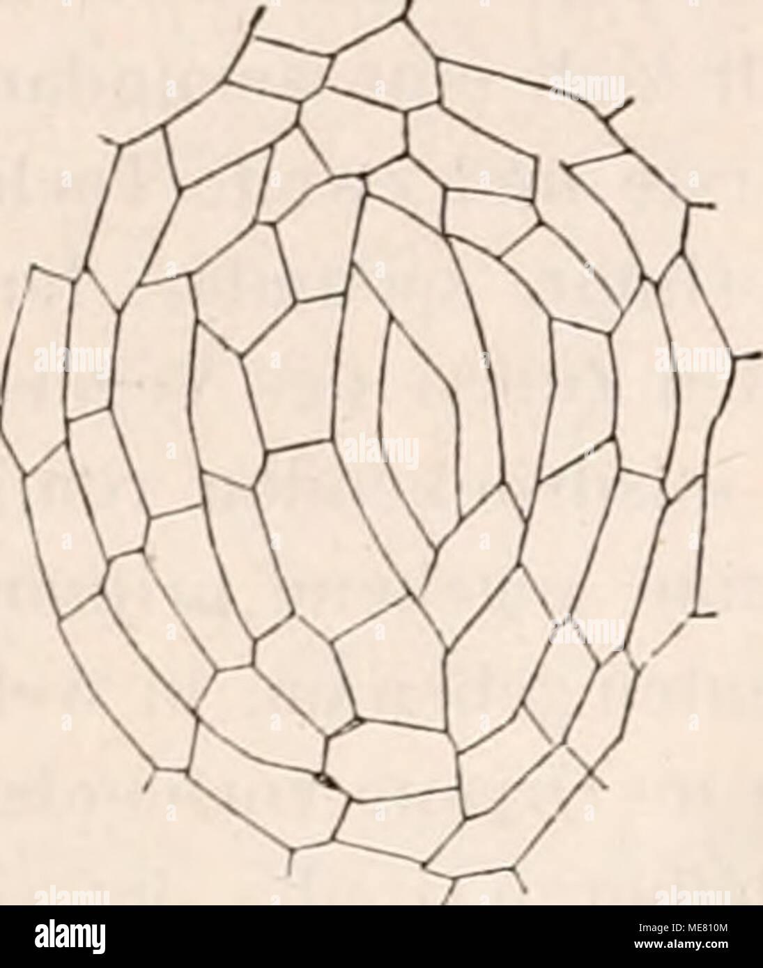 """. Die Lehre von der Pflanzenzelle. 131 §^^ - Vcrhältiiiss d. Zum zclleiibildung Waclistlium d. Pllanzonorganc Pflnnzcii ii. Wachsende Yeizelationspiinkte Sindh eine plastische Masse. Sterben noch nicht völlig erhärtelen Zelhände folgen passiv äusseren Einflüssen, der Schwerkraft z. B., oder 1963 Drucke, jahrforschung sie unter Umständen nach den Formen unsere angränzender fester Körper sich Modeln """"j. Für die Form von Vegetationspunklen bestimmend ist vielfach auch die Stellung und das maass der Entwickelung aus Unsere hervorgesprosster appendiculärer gefunden worden, der besagte, insbeson-dere Sterben von Blättern auf das Ende Stockbild"""