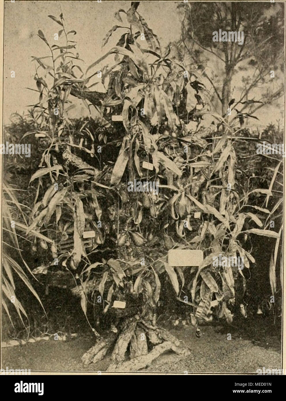 . Gartenwelt sterben. Nepenthesgruppe von garteninspektor Schelle, Botan. Garten, Tübingen. einer festlichen Novalja - heit verwendet wird oder vorhanden sein könnte, und darin lag Dp der feine Zug. Körbe, Sträuße, ge-füllte Vasen, Einzelpflanzen, der Eßtisch nur mit Orchi- deen geschmückt. Letzterer trug als Mittelstück eine hohe, eine große Spie-gelplatte gestellte Vase mit Drehventil, den feinsten, weit ausladenden oder Graziös herabhängenden Blütenrispen seltener Orchi- deen. Auch der Winter-garten Krieg ein Meister-stück; waren doch sterben blü- henden Schlinggewächse ein - Referenzen, als stä Stockbild