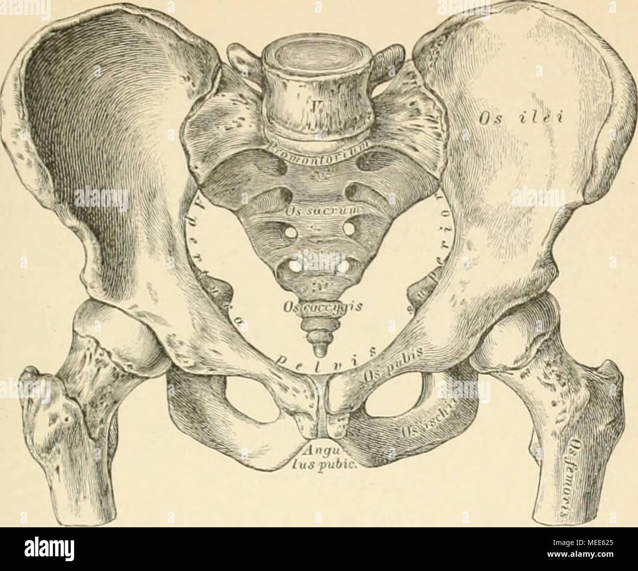 Ziemlich Becken Weibliche Anatomie Zeitgenössisch - Anatomie Ideen ...