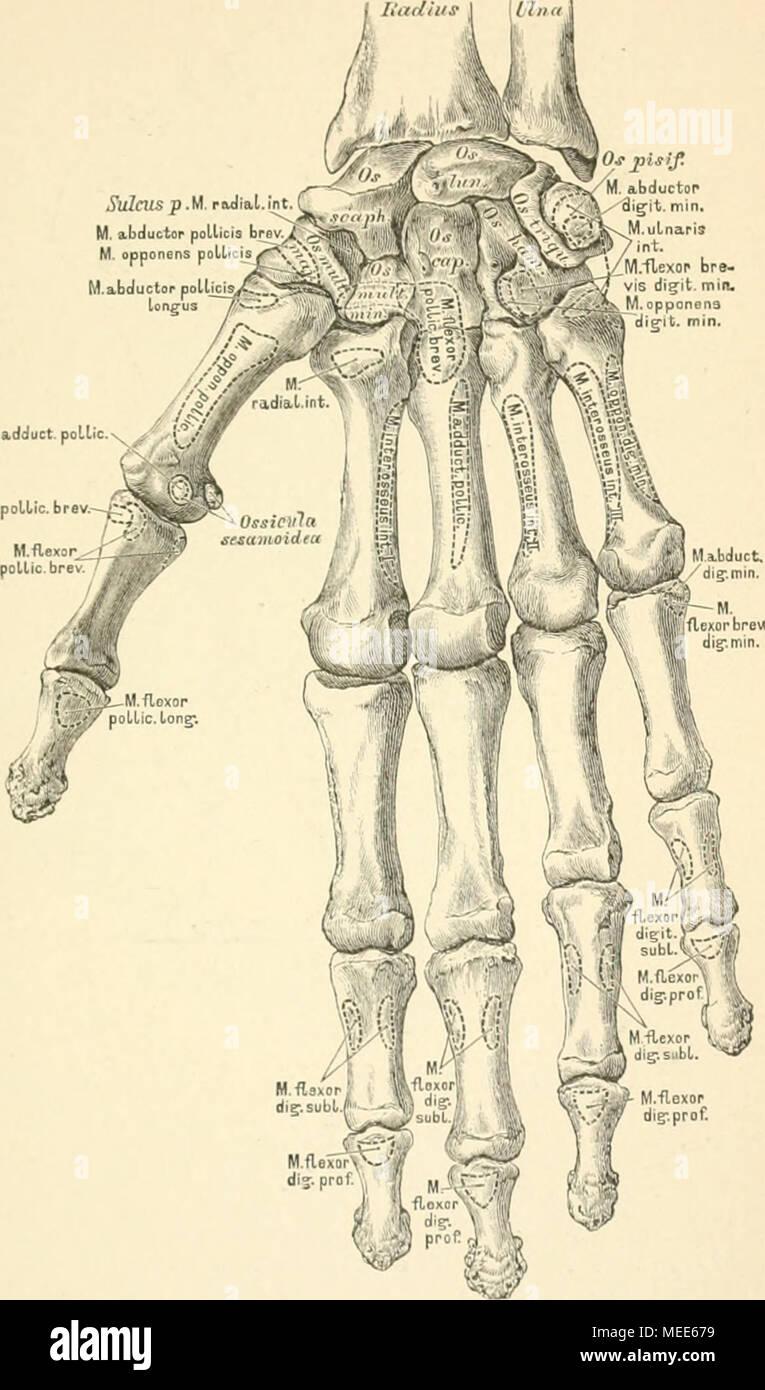 Ausgezeichnet Funktionelle Anatomie Der Hand Bilder - Menschliche ...
