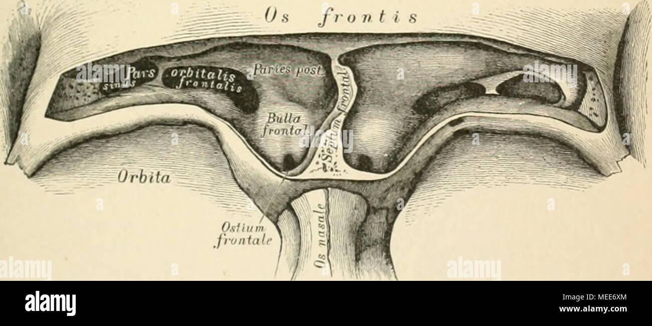 Sinus Frontalis Stockfotos & Sinus Frontalis Bilder - Alamy