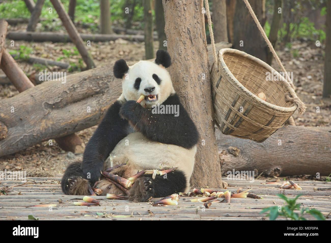 Panda Bambus An Der Chengdu Panda Forschungs Und Aufzuchtstation In
