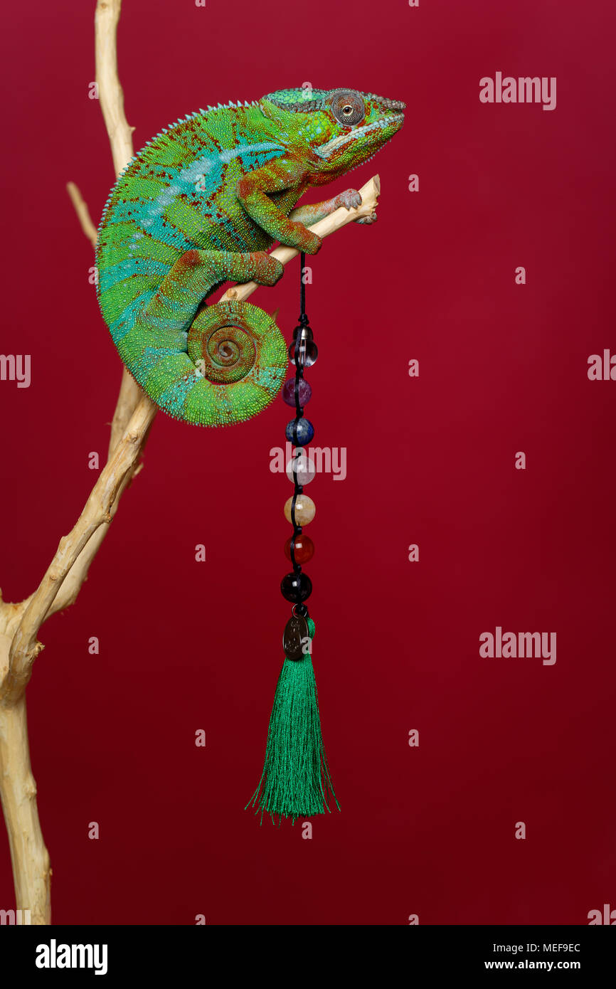 Lebendig chameleon Reptile Holding natürlichen Stein Perlen sitzen auf Zweig. Studio shot über den roten Hintergrund. kopieren. Stockbild