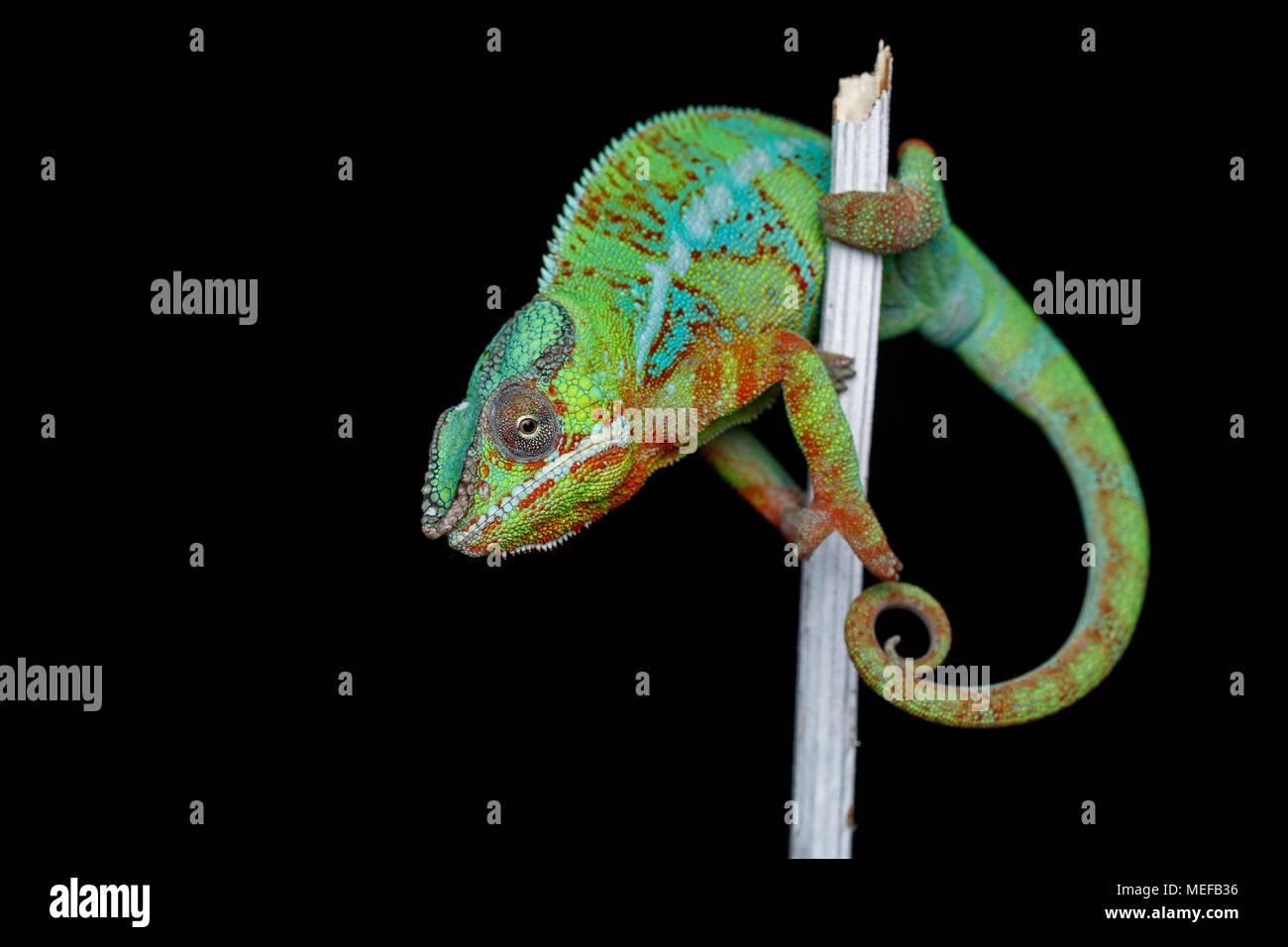 Lebendig chameleon Reptile sitzen auf Zweig. Studio erschossen. kopieren. Stockbild