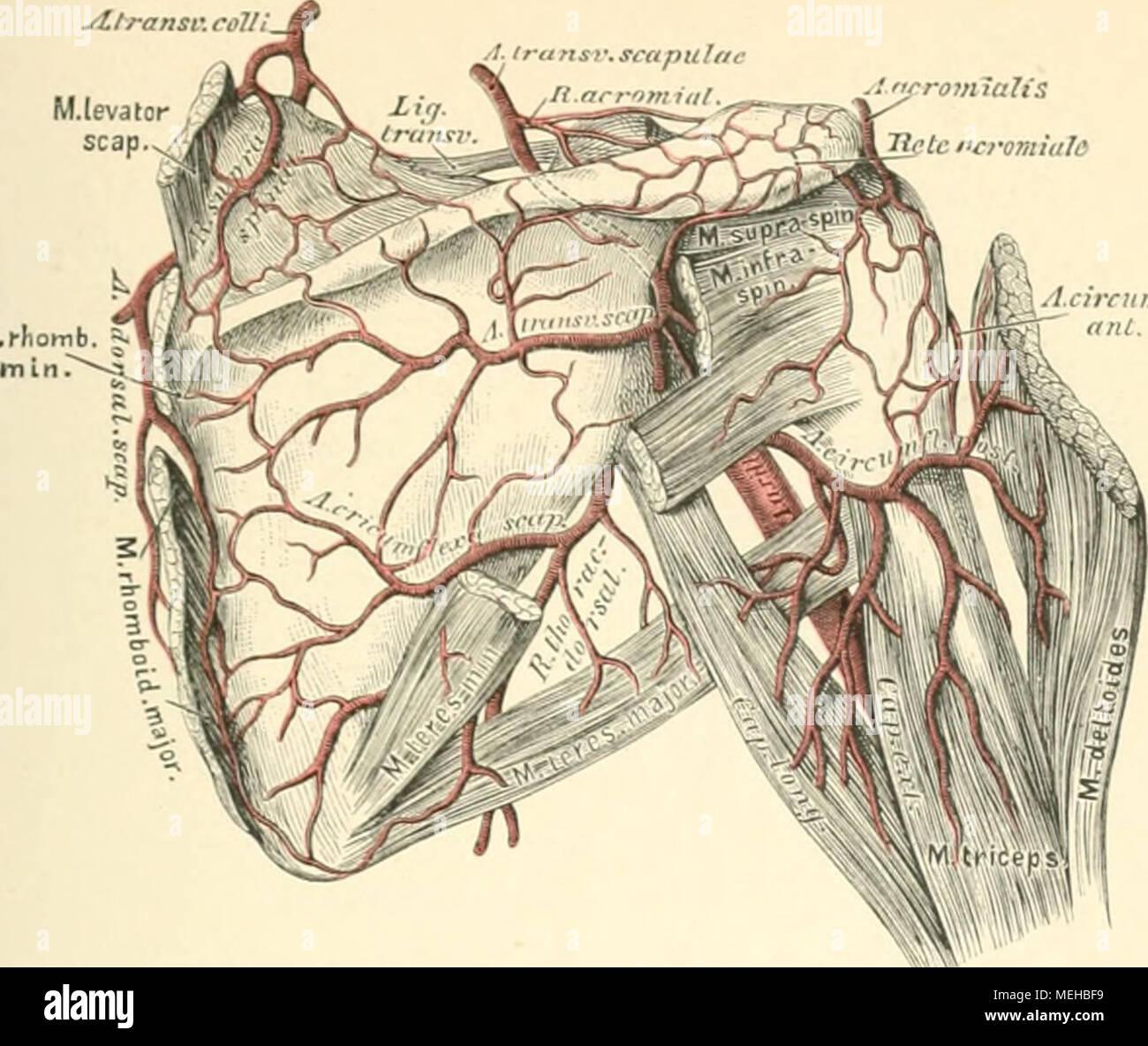 Beschreibende und topographische Anatomie des Menschen ...