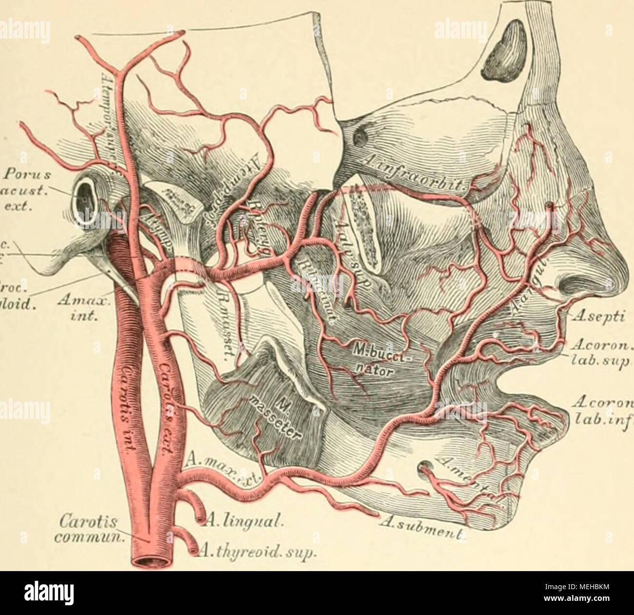 Die beschreibenden und topographische Anatomie des Menschen. styloid ...