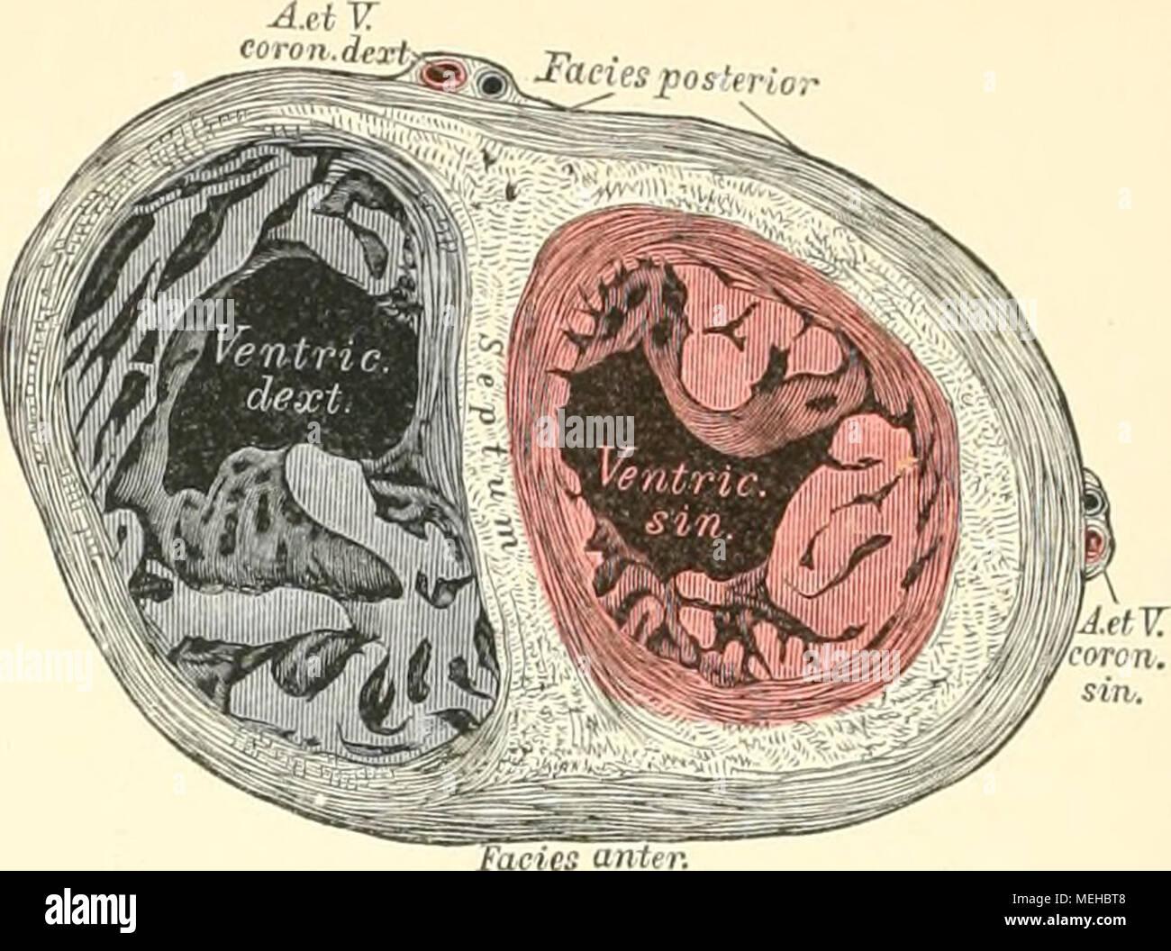 Ungewöhnlich Schnitt Anatomie Des Herzens Ideen - Physiologie Von ...