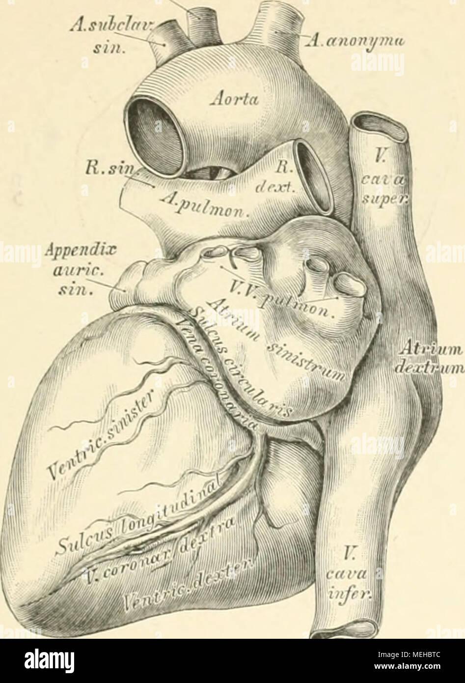 Großartig Anatomie Des Herzens Und Der Lunge Zeitgenössisch ...