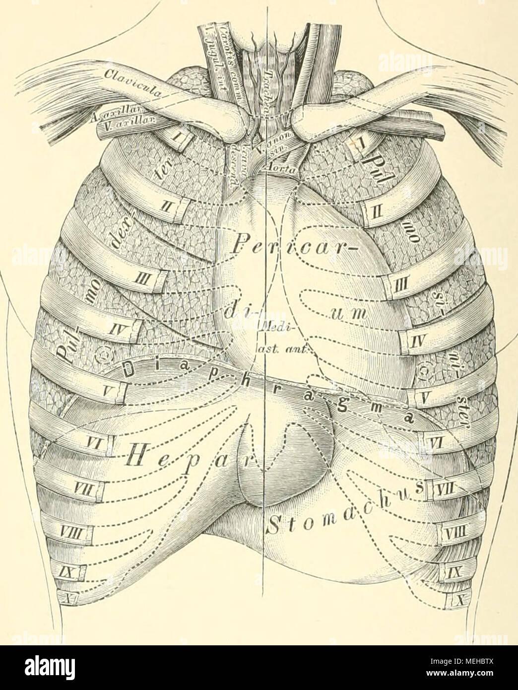 Ziemlich Anatomie Und Physiologie Enthüllt Ideen - Menschliche ...