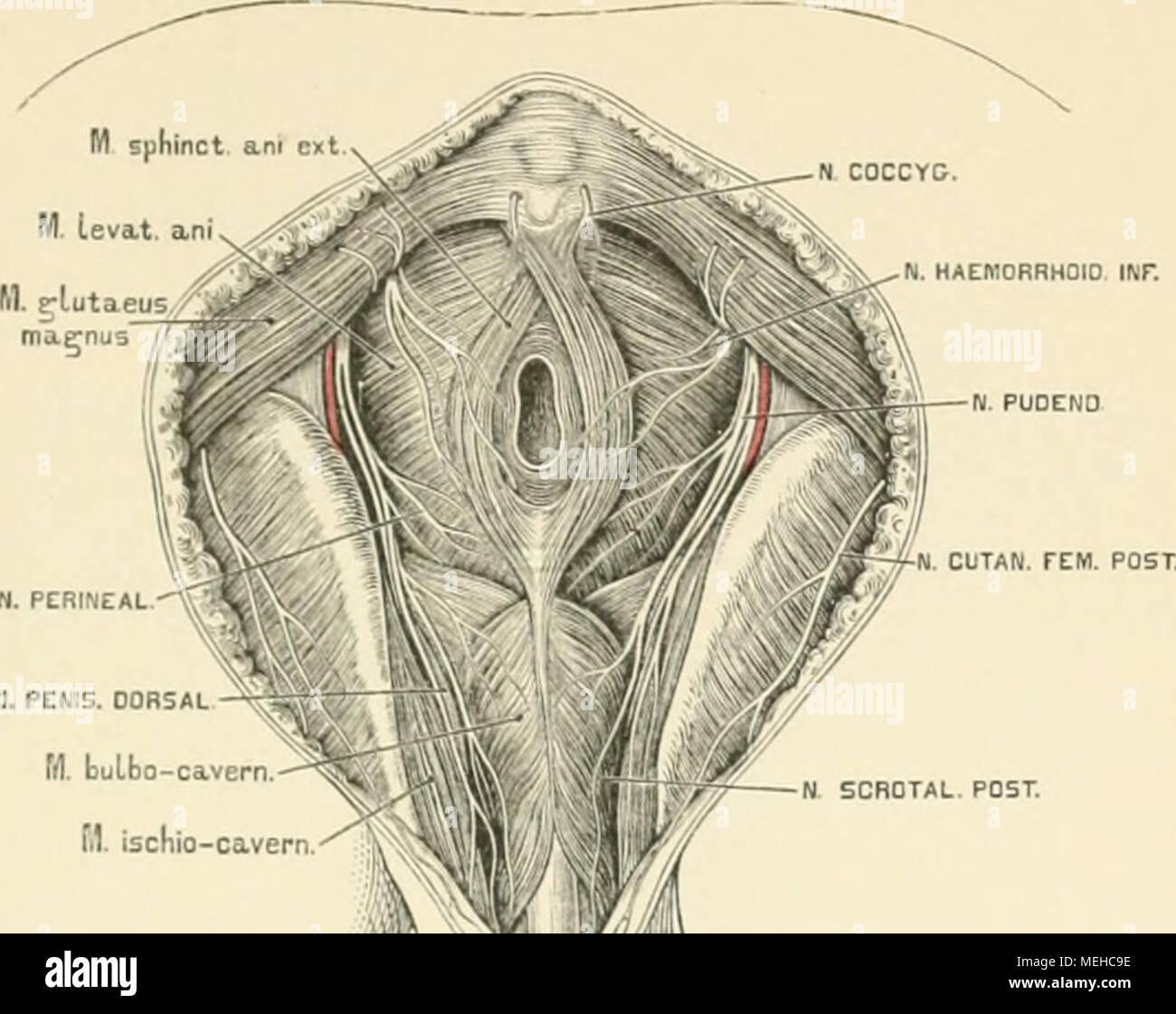 Die beschreibenden und topographische Anatomie des Menschen. H ...
