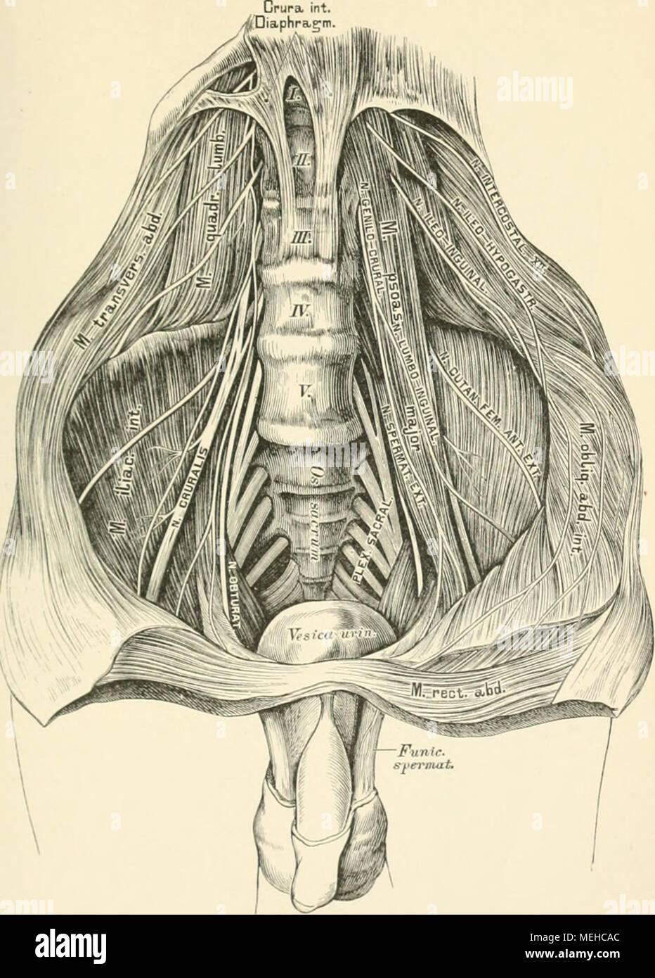 Ziemlich Kleinhirnwurms Anatomie Zeitgenössisch - Menschliche ...