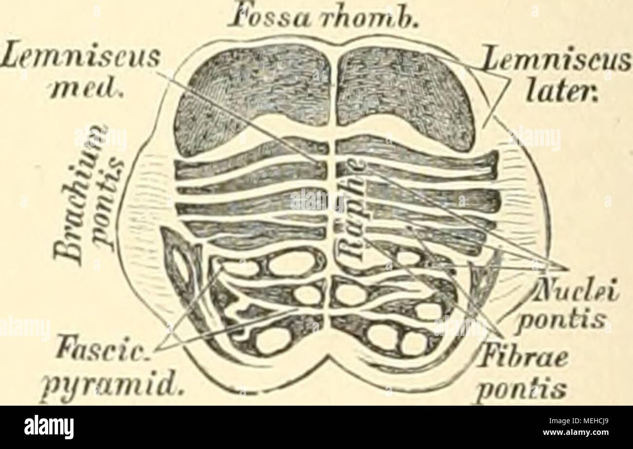 Fantastisch Schädel Anatomie Des Menschen Ideen - Menschliche ...