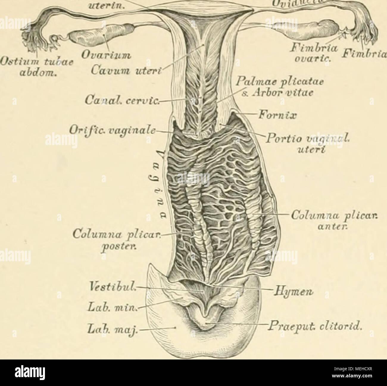 Ausgezeichnet Makroskopische Anatomie Des Gebärmutter Zeitgenössisch ...