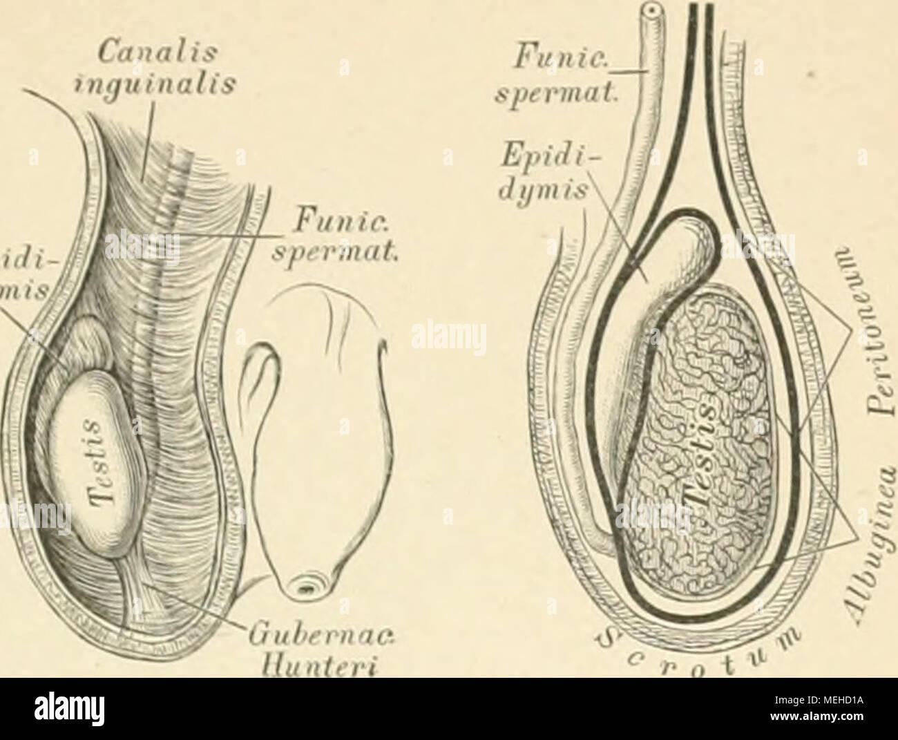 Die beschreibenden und topographische Anatomie des Menschen. 4 Ich ...