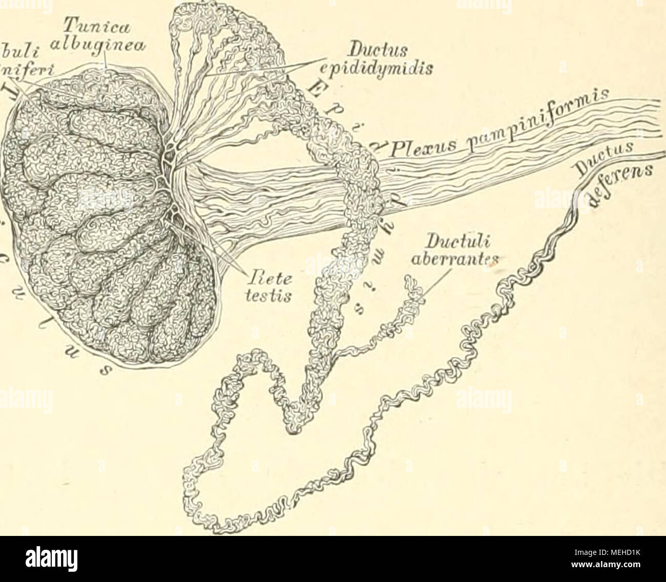 Erfreut Hoden Diagramm Galerie - Anatomie Und Physiologie Knochen ...