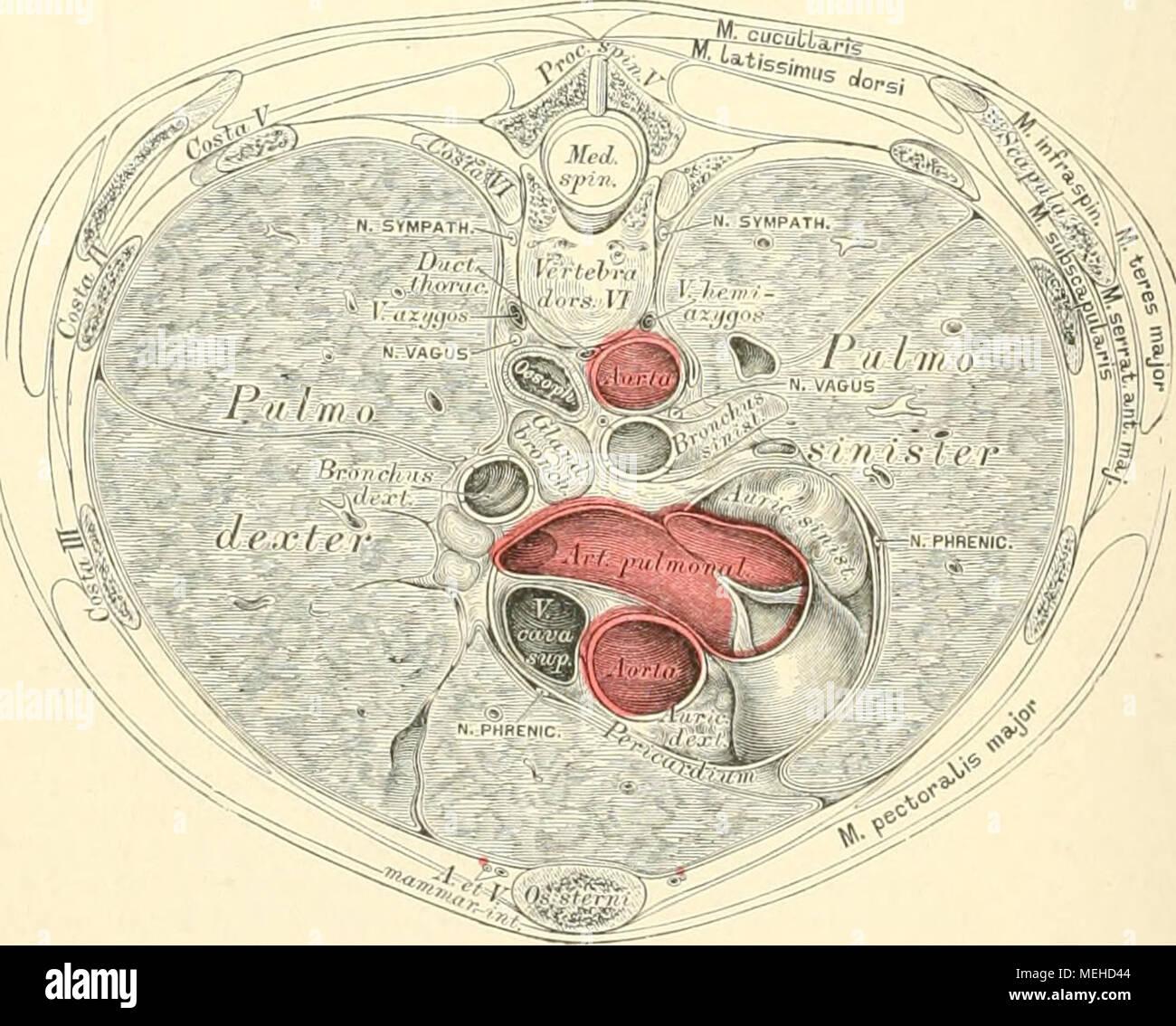 Ziemlich Thorax Anatomie Des Menschen Zeitgenössisch - Anatomie ...