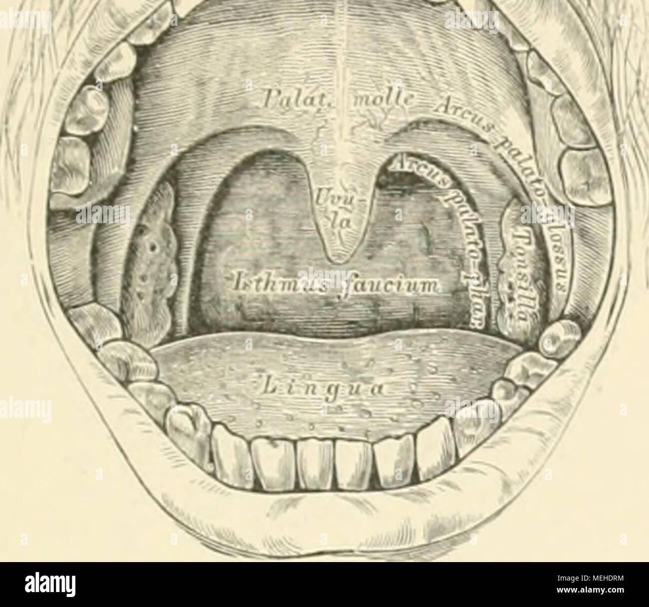 Berühmt Anatomie Des Mundes Fotos - Menschliche Anatomie Bilder ...