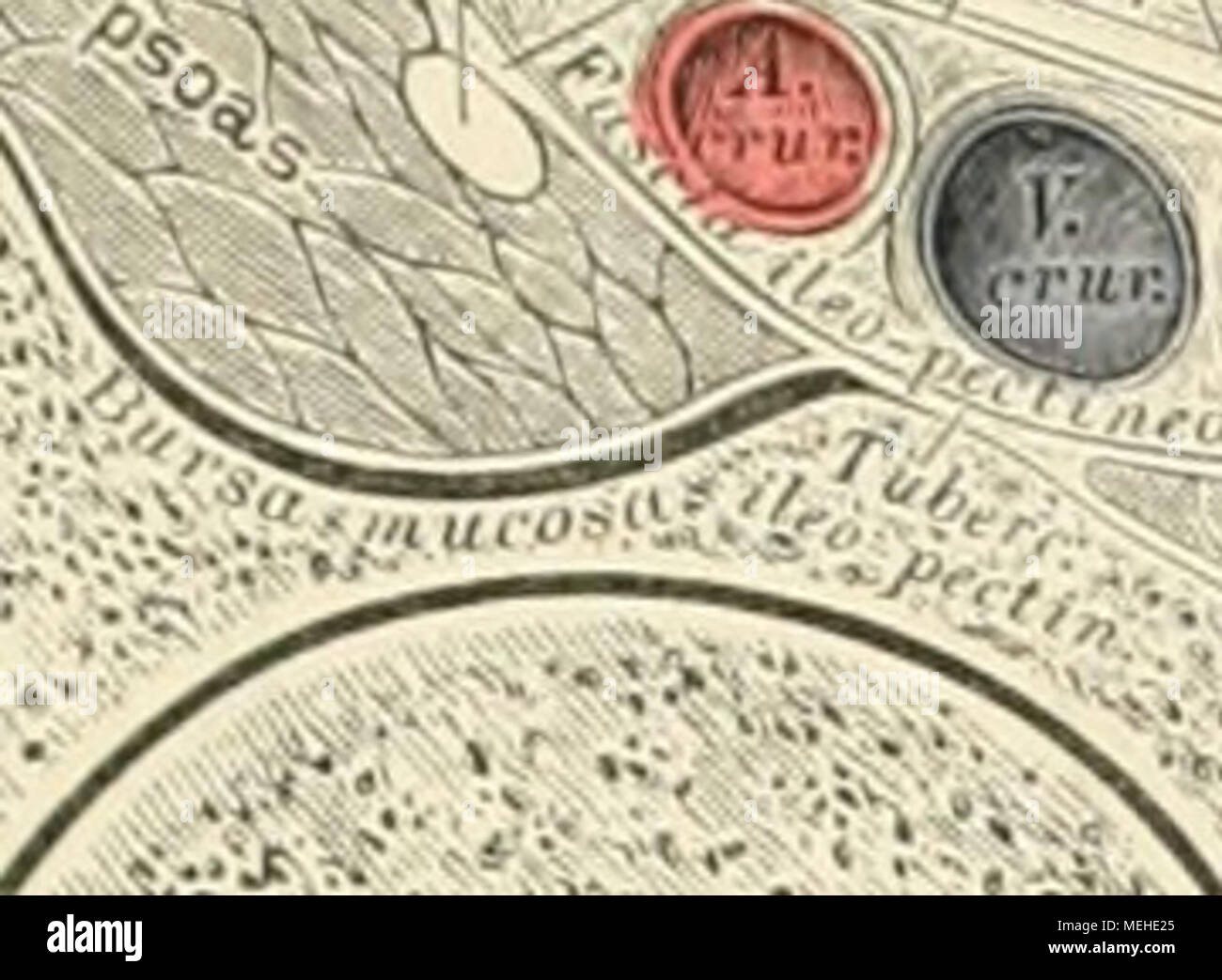 Ligamentum Stockfotos & Ligamentum Bilder - Alamy