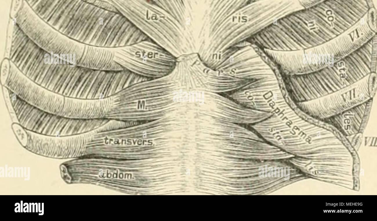 Ziemlich Brustmuskeln Fotos - Physiologie Von Menschlichen ...
