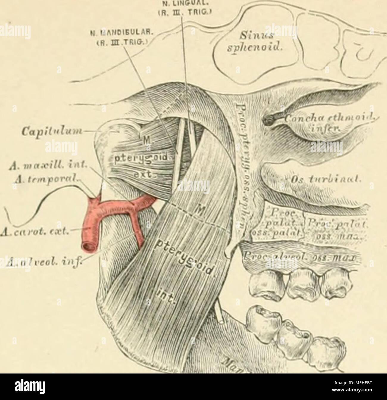 Die beschreibenden und topographische Anatomie des Menschen. 2G (ich ...