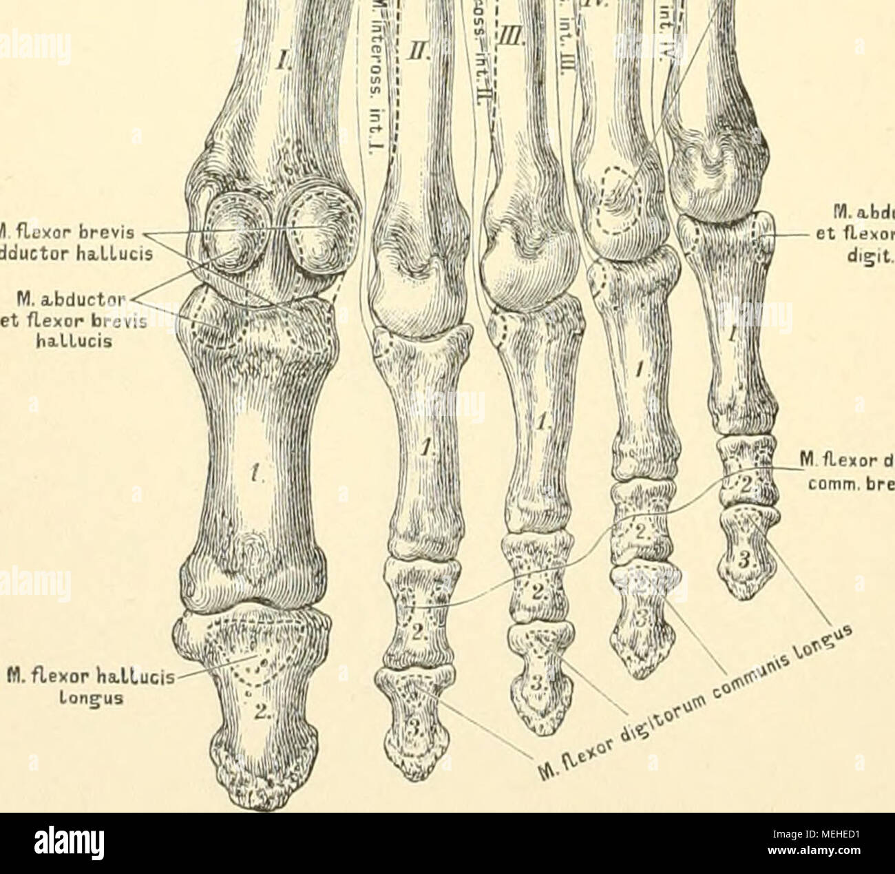 Tolle Plantar Anatomie Des Fußes Bilder - Menschliche Anatomie ...