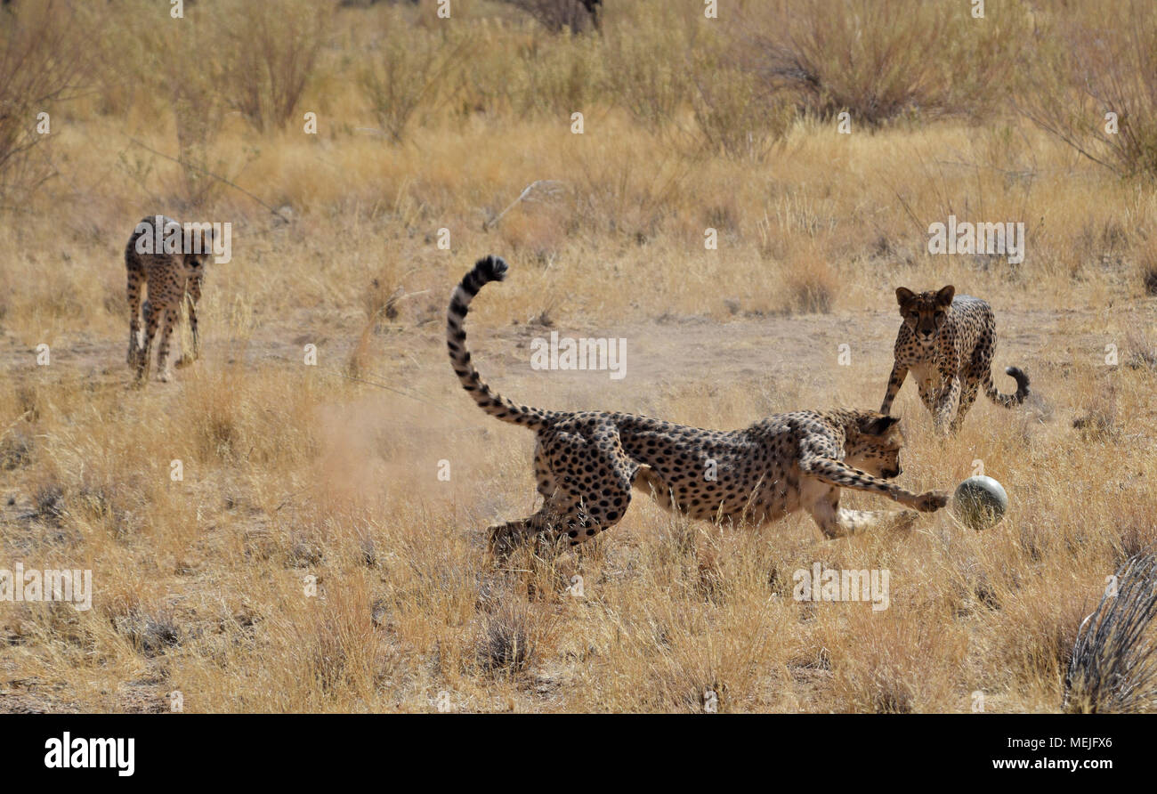 Geparden in Namibia Stockbild