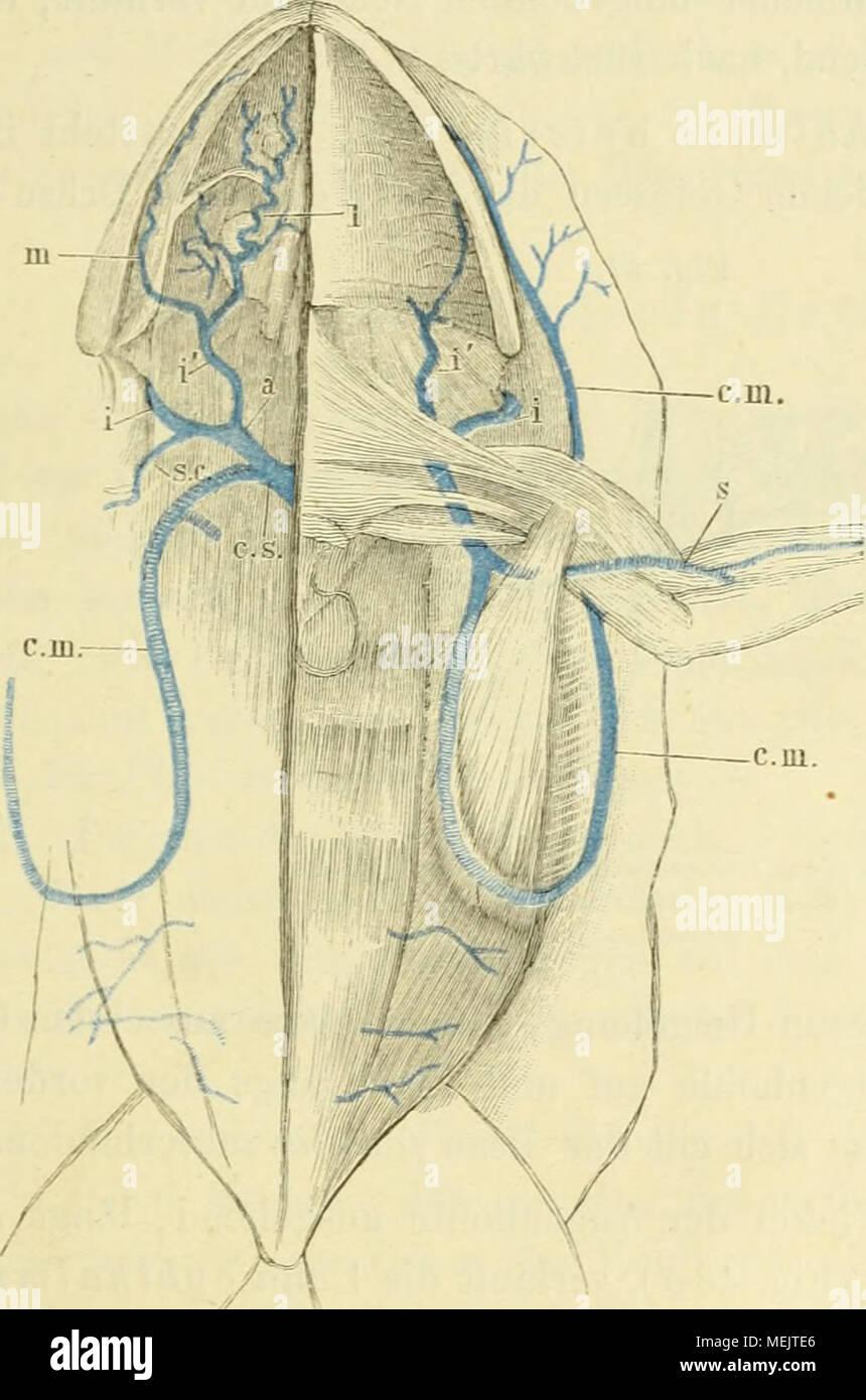 Ausgezeichnet Subclavia Anatomie Ideen - Menschliche Anatomie Bilder ...
