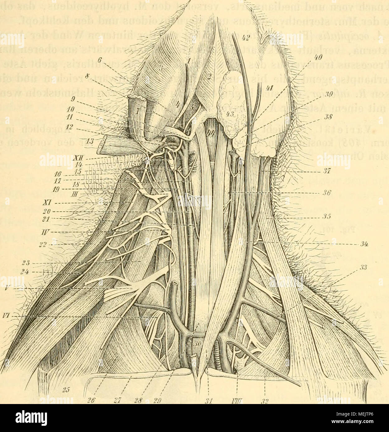 Berühmt Kalb Arterien Anatomie Ideen - Menschliche Anatomie Bilder ...