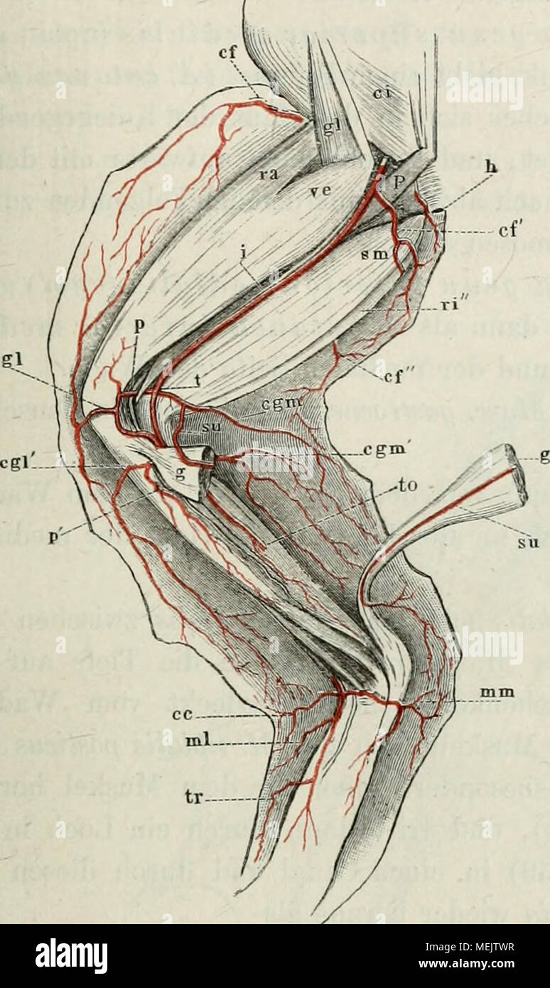 Gemütlich Anatomie Und Physiologie Arterien Und Venen Bilder ...