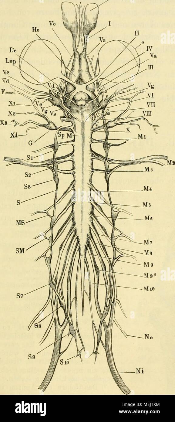 Spinalnerven Stockfotos & Spinalnerven Bilder - Alamy