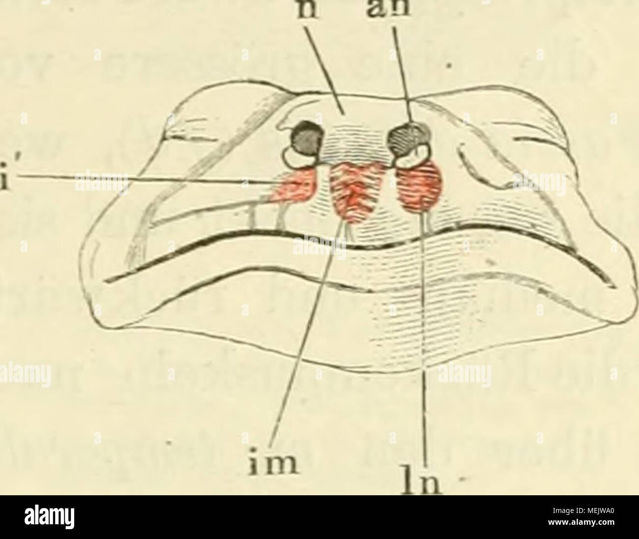 Fantastisch Gegenüber Der Medialen Anatomie Galerie - Menschliche ...