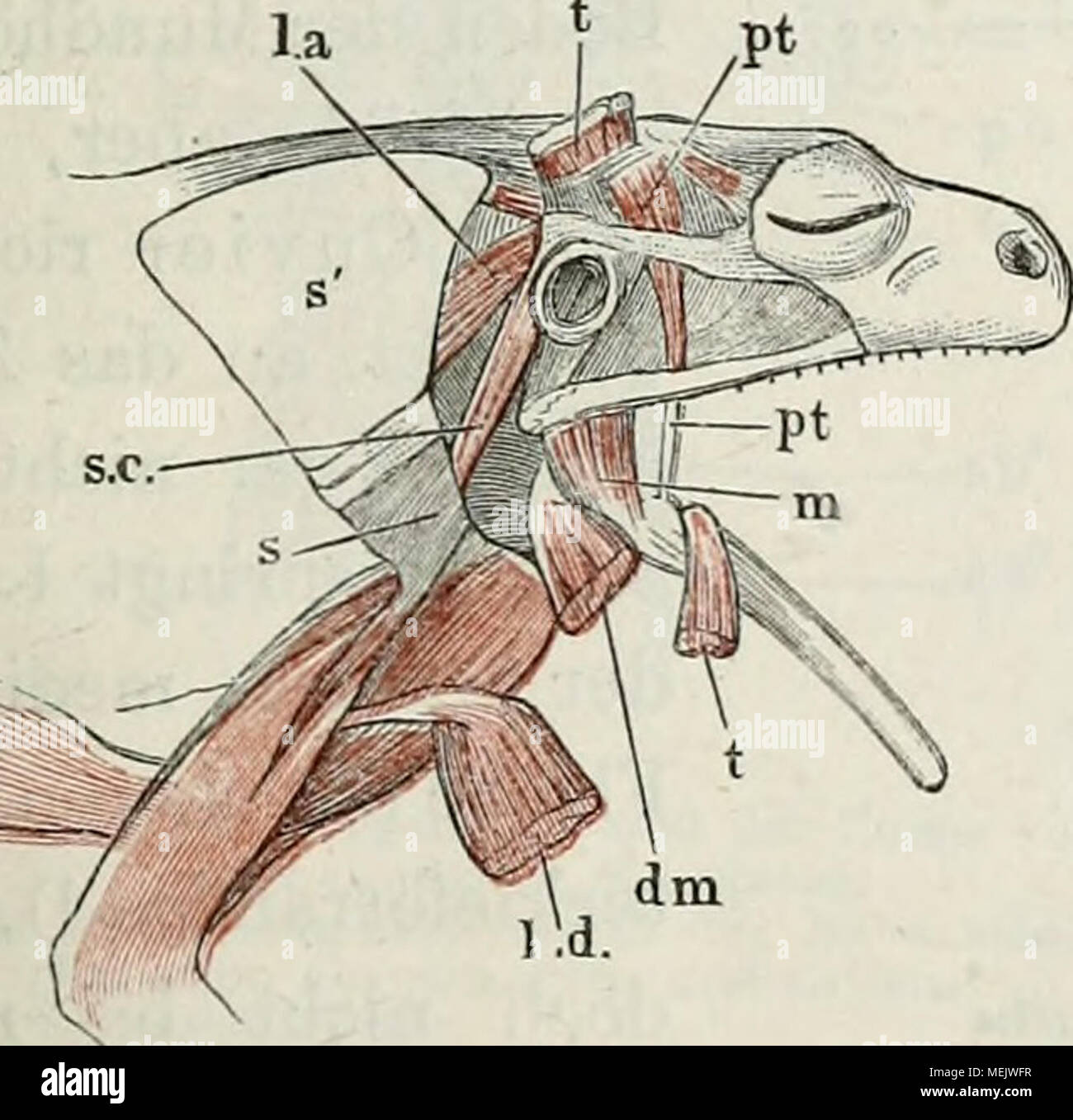 Die Anatomie des Frosches: ein Handbuch,. Muskeln des Unterkiefers ...