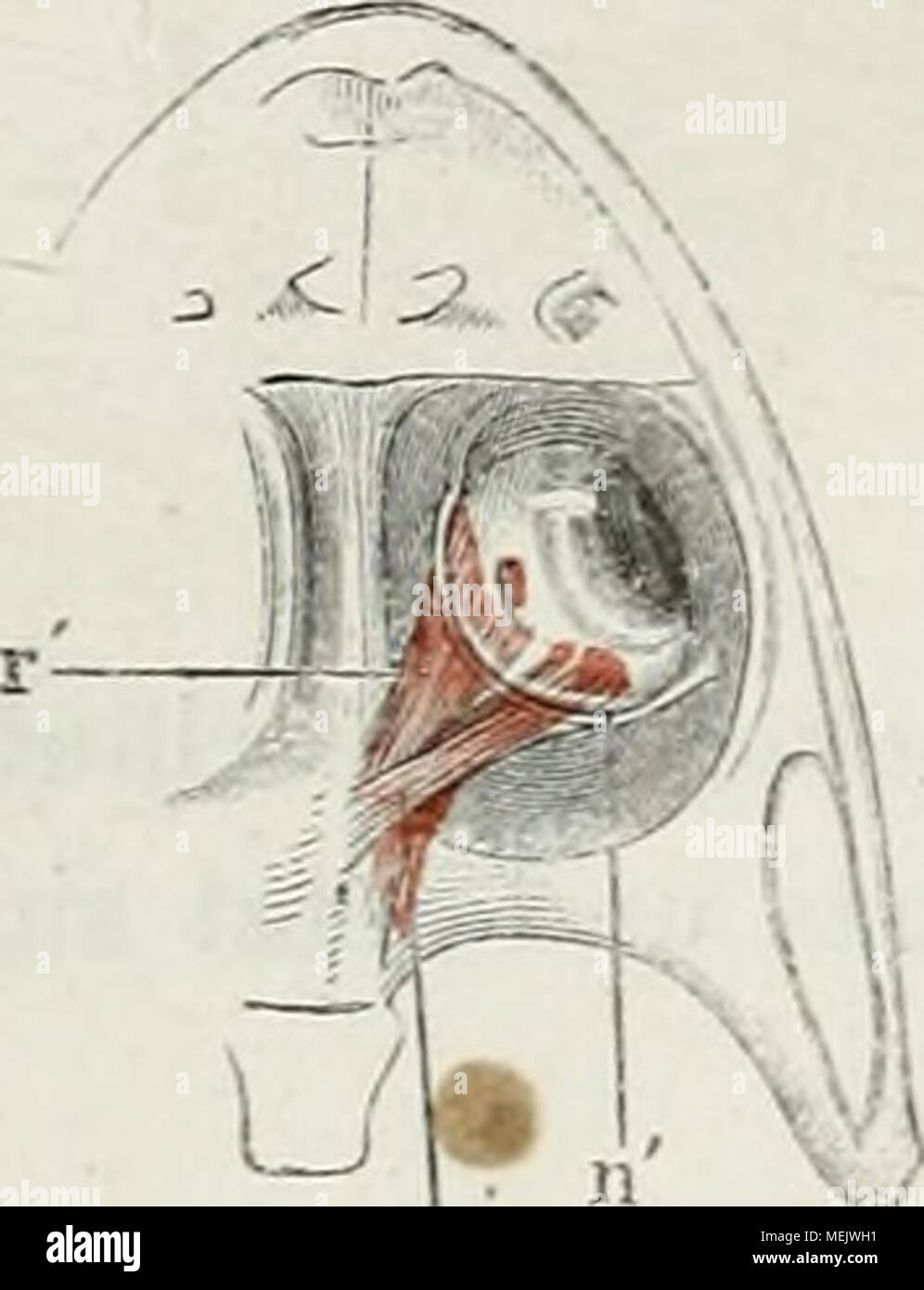Berühmt Augenhöhle Anatomie Galerie - Menschliche Anatomie Bilder ...