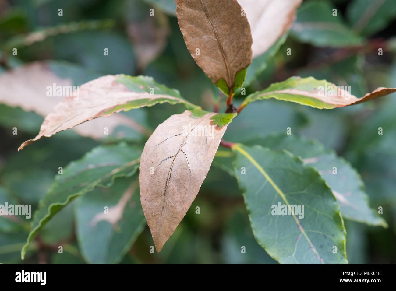 Lorbeerblätter - Bay Lorbeer (Laurus nobilis) Pflanze mit Frost Kälte Schäden an Blättern in de Garten Stockbild