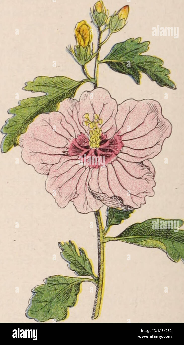 Hibiscus Elatus Stockfotos & Hibiscus Elatus Bilder - Alamy
