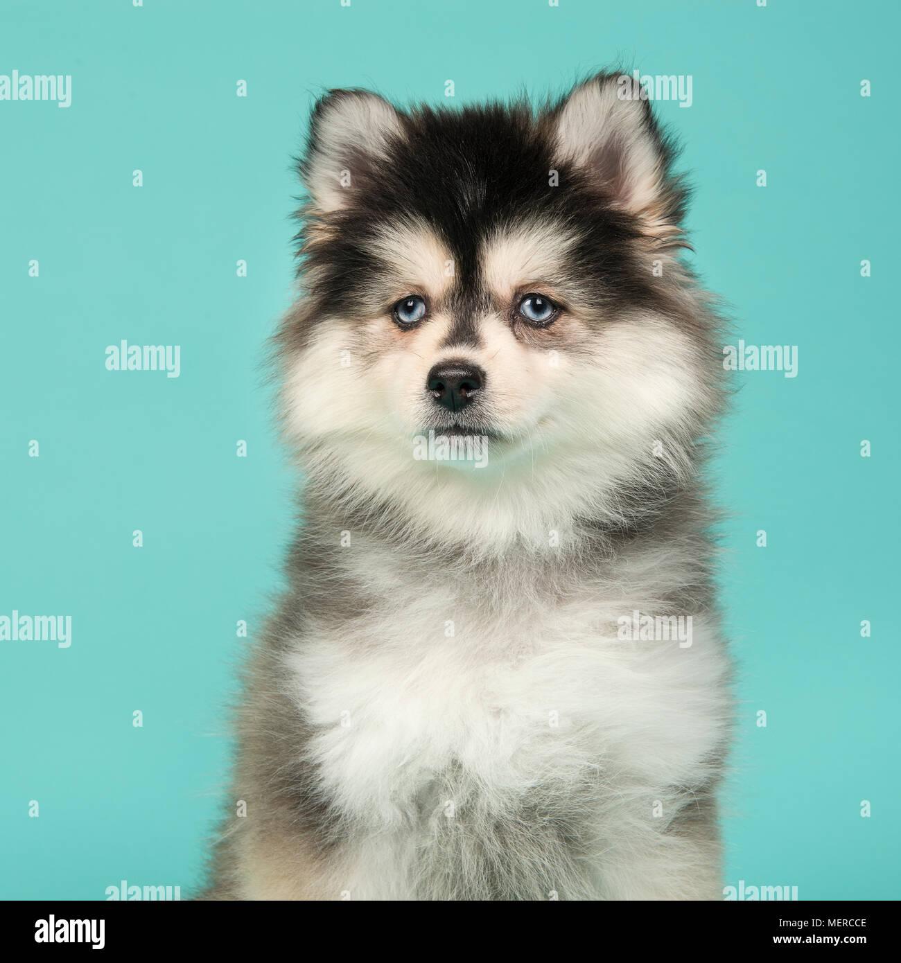 Porträt Eines Mini Husky Welpen Mit Blauen Augen Blickte Auf Ein