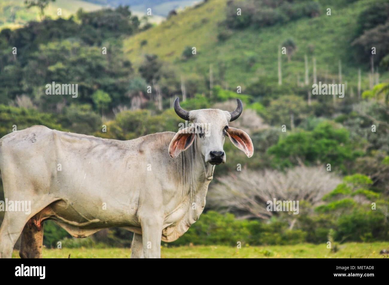 Happy Cow Wohnen im Grünen von Costa Rica und Blick in die Kamera Stockbild