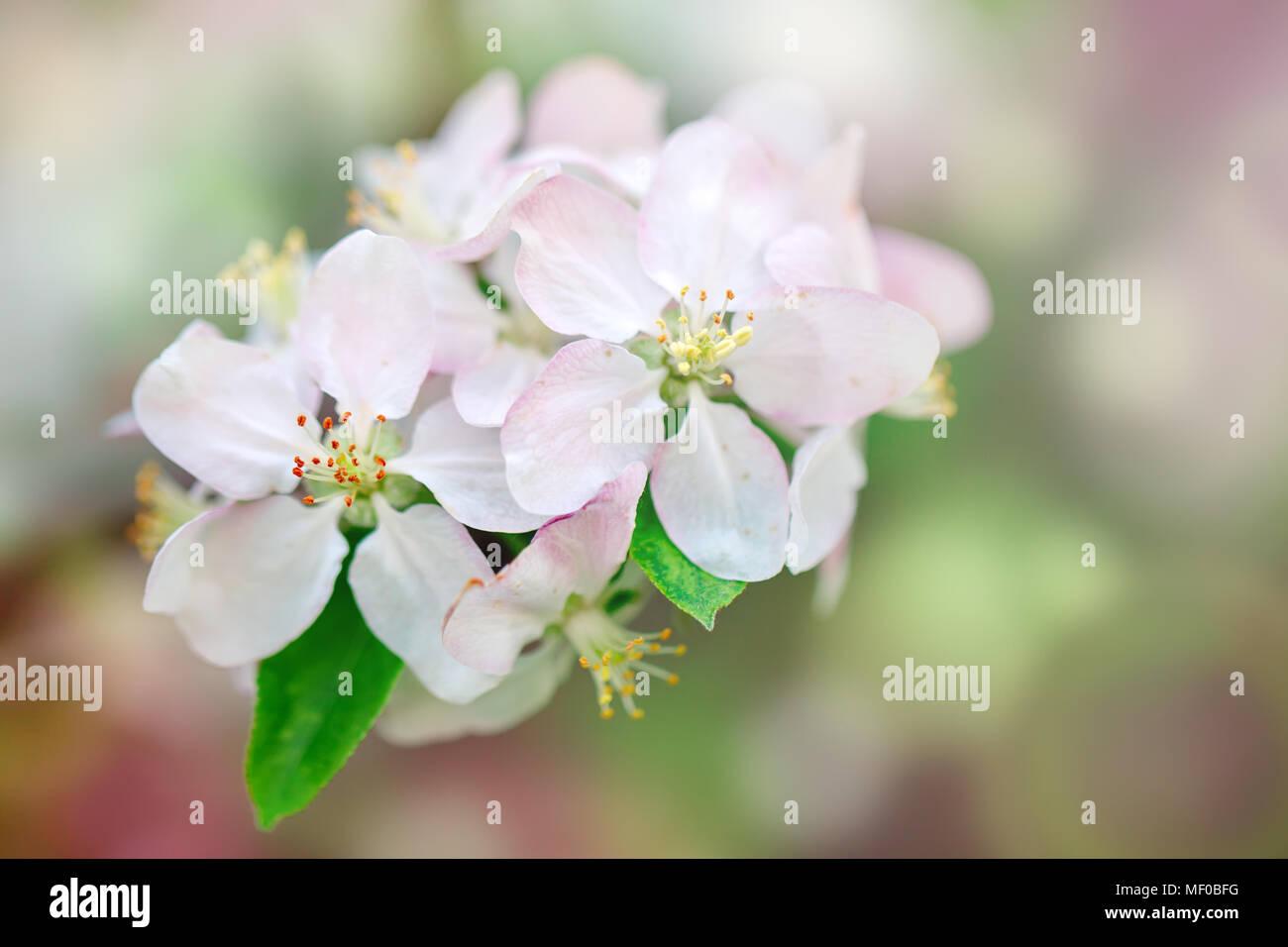Die Quitte Baum. Schöne Blumen mit Quitte Baum im Frühling. Blumen und Gartenbau. Floral background. Stockbild