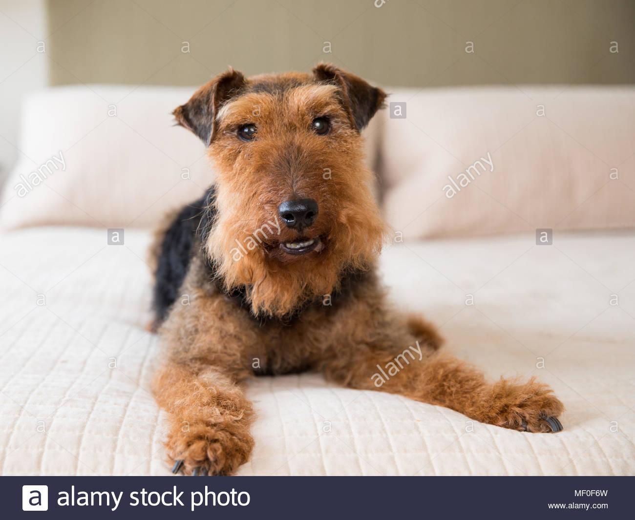 Lächelnd Welsh Terrier Hund liegend auf sauberen Off-white Bett in Richtung Kamera schaut Stockbild