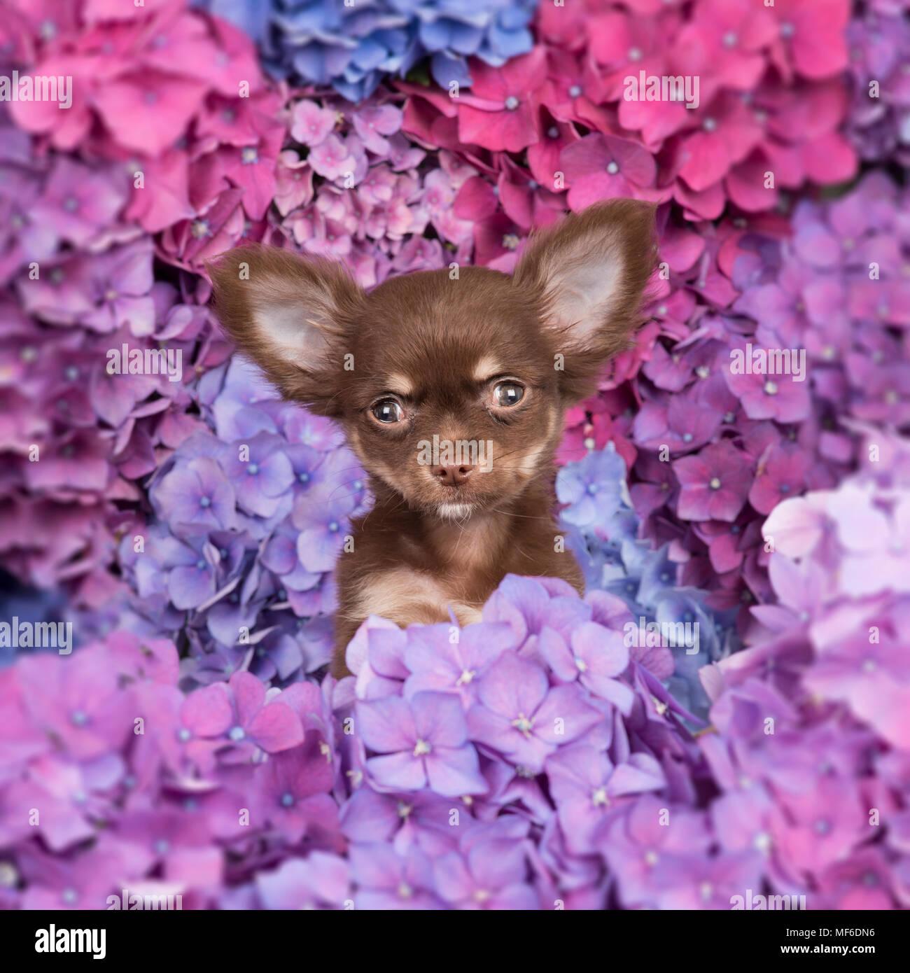 Cute adorable Chihuahua Welpen vor der Kamera zwischen