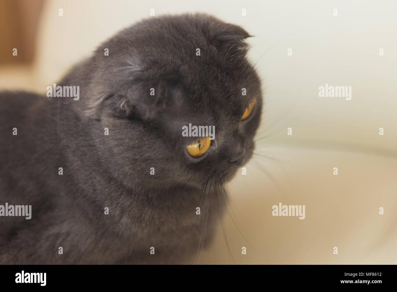 Lustige Grau Scottishfold Katze Sitzt Auf Dem Sofa Und Sah