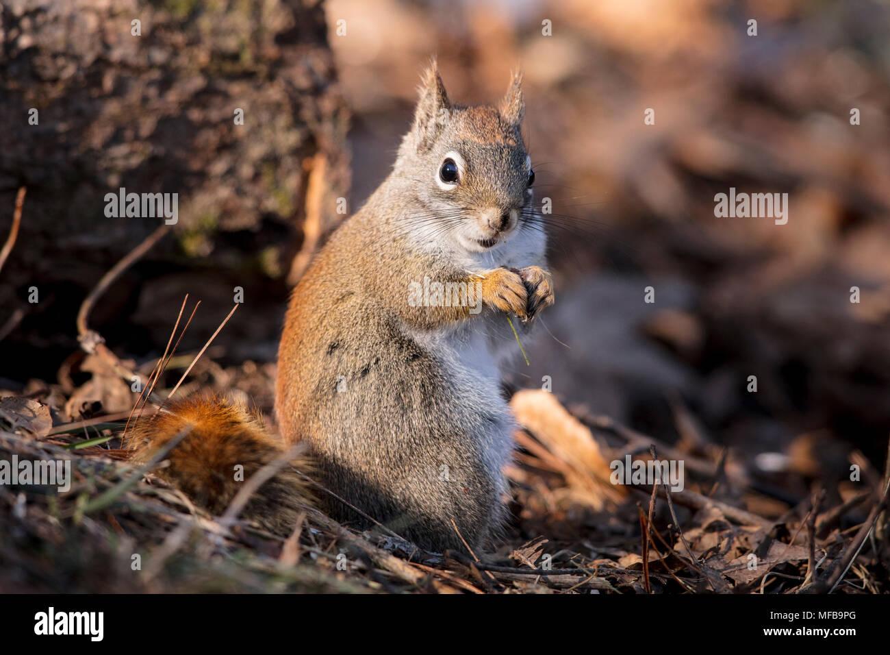 MAYNOOTH, ONTARIO, Kanada - 23 April, 2018: ein rotes Eichhörnchen (Tamiasciurus hudsonicus), Teil der Sciuridae Familie Grünfutter für Lebensmittel. (Ryan Carter) Stockbild