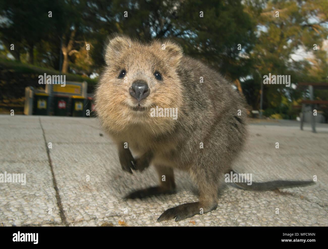 Quokka (Setonix Brachyurus) Rottnest Island, Perth ...