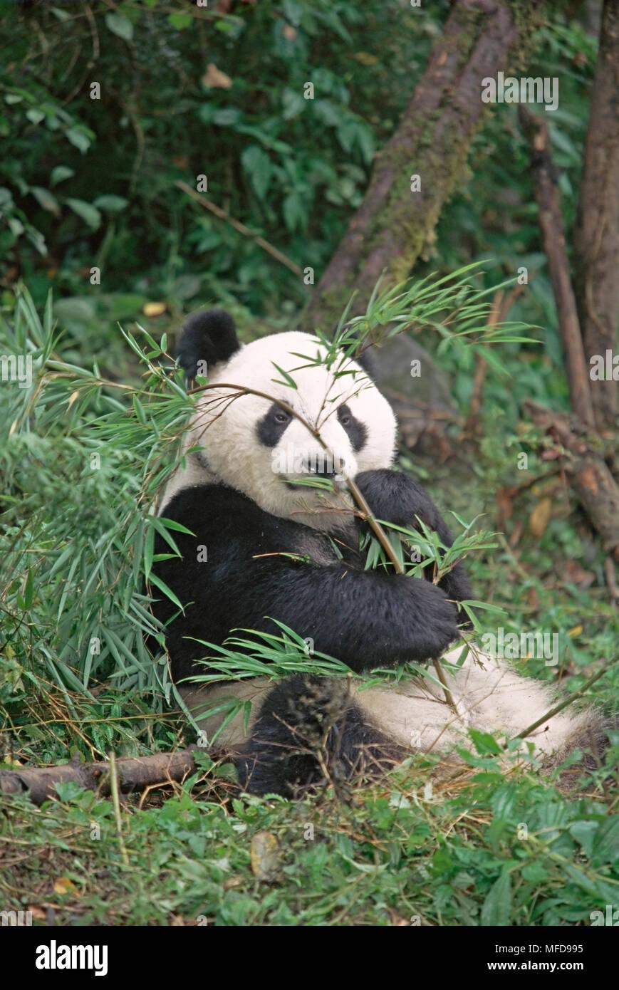 Riesenpanda Ailuropoda Lalage Essen Bambus Chongqing China